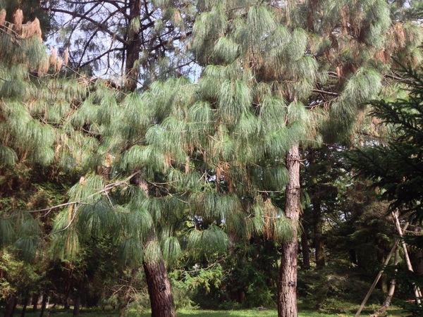 Pinus pseudostrobus Lindley var. oaxacana (Mirov) S.G. Harrison