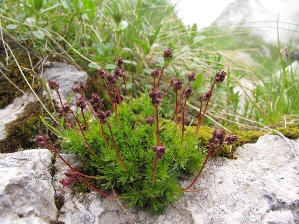 Saxifraga exarata Vill. subsp. atropurpurea (Sternb.) T. Wraber