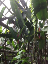Heliconia mariae Hook.f.