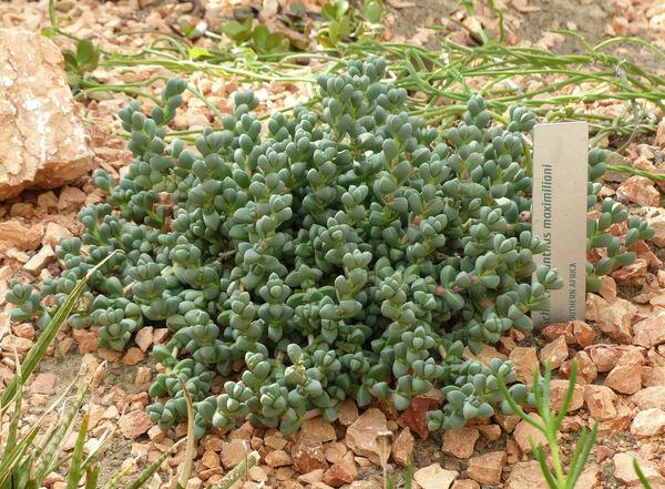 Schlechteranthus maximiliani Schwantes