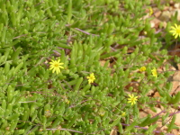 Othonna capensis L.H.Bailey