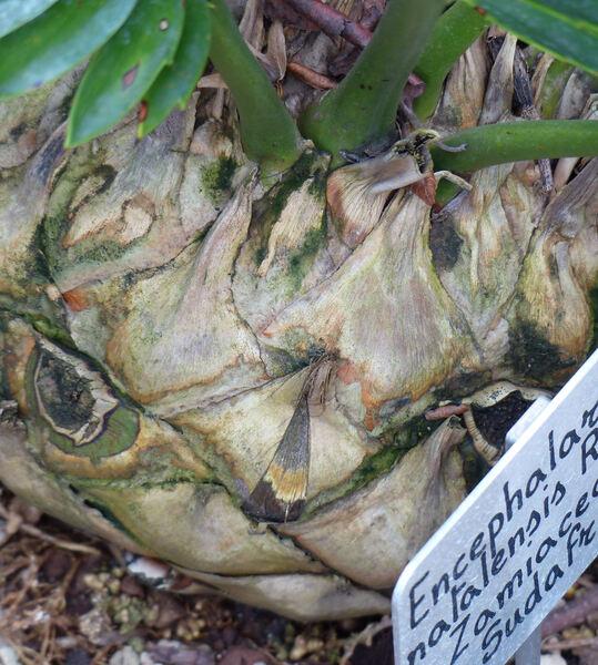 Encephalartos natalensis R.A.Dyer & I.Verd.
