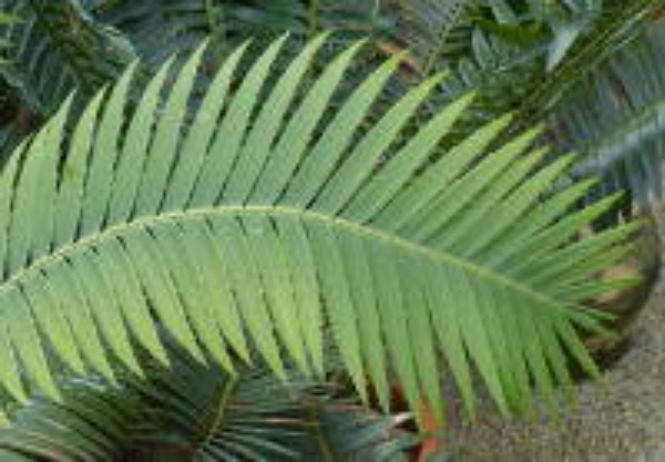 Dioon spinulosum Dyer