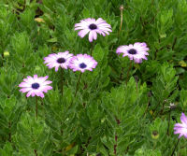 Dimorphoteca pluvialis (L.) Moench