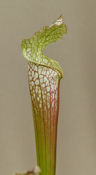 Sarracenia leucophylla Raf.