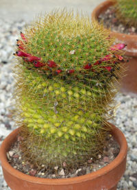 Mammillaria rhodantha Link & Otto subsp. pringlei (J.M. Coult.) D.R. Hunt