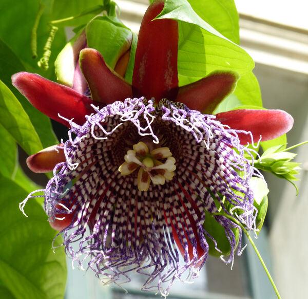 Passiflora quadrangularis L.