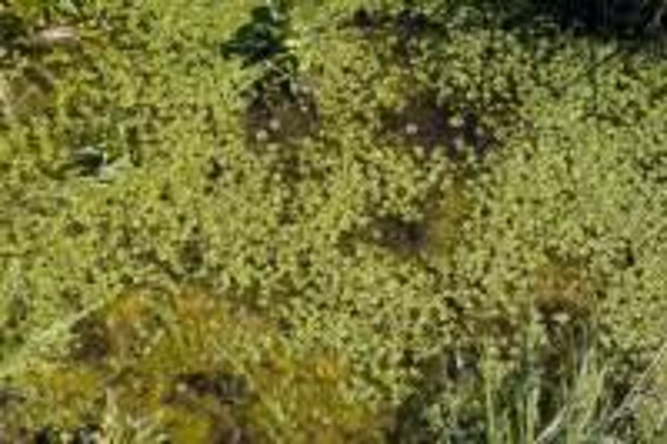 Callitriche lenisulca Clavaud