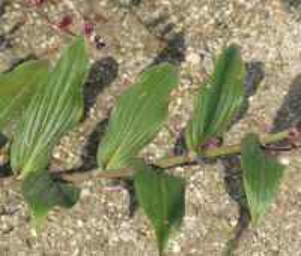 Tricyrtis lasiocarpa Matsum.