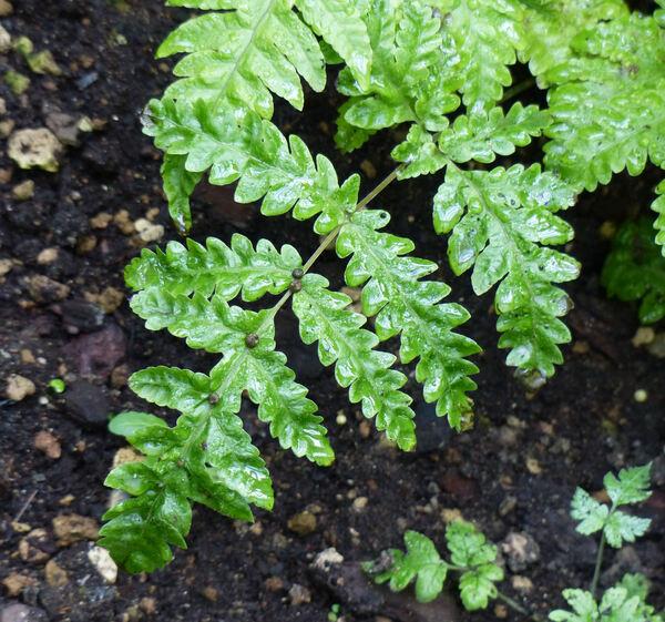 Tectaria gemmifera (Fée) Alston