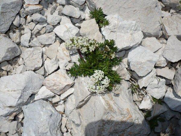 Bunium alpinum Waldst. & Kit.