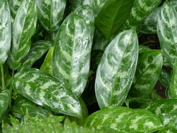 Aglaonema marantifolium Blume 'Tricolor'