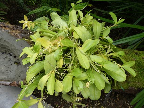 Phalaenopsis hieroglyphica (Rchb.f.) H.R.Sweet