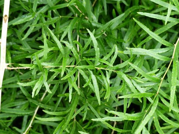 Asparagus falcatus L.