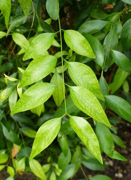 Jasminum simplicifolium G. Forst.