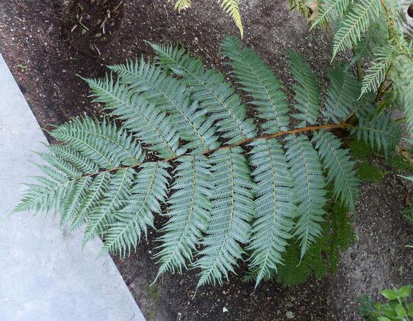 Cyathea australis (R. Brown) Domin