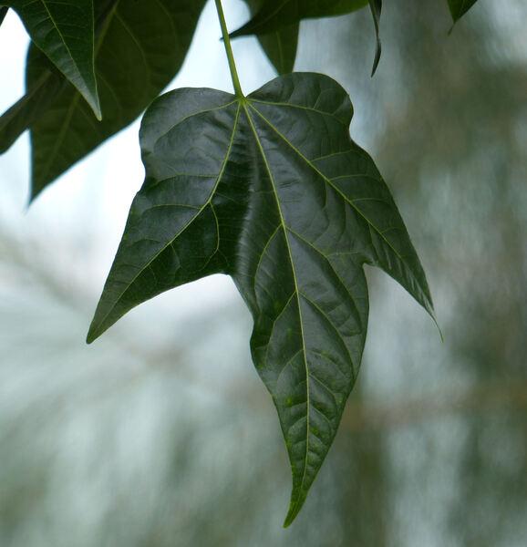 Brachychiton diversifolius R.Br. subsp. diversifolius