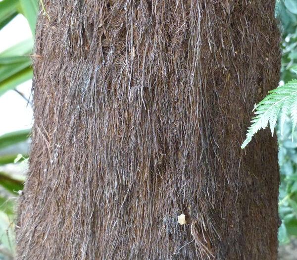 Dicksonia antarctica Labill.