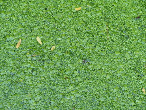 Wolffia arrhiza (L.) Horkel ex Wimm.