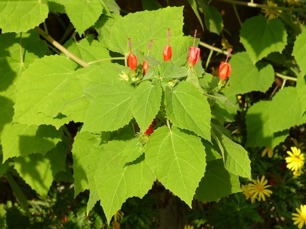 Malvaviscus arboreus Cav.
