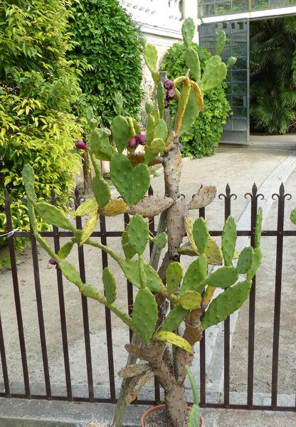 Opuntia haematocarpa A. Berger