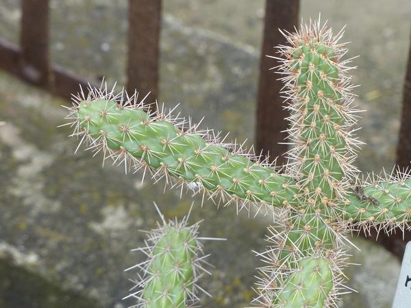 Cylindropuntia munzii (C. B. Wolf) Backeberg