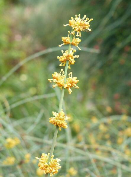 Ephedra fragilis Desf.