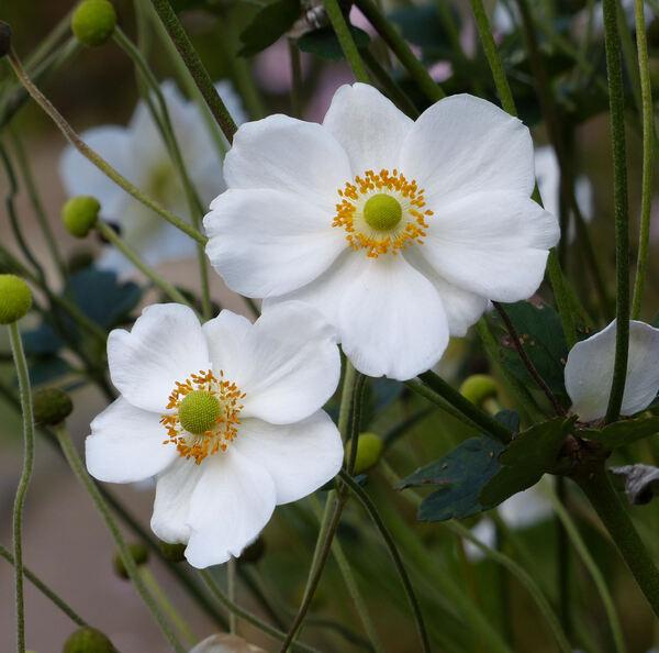 Anemone x hybrida hort.