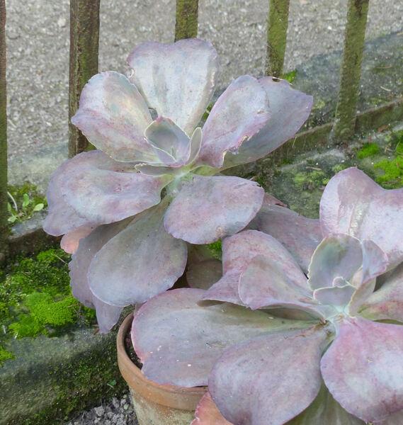 Echeveria gibbiflora DC.  'Metallica'