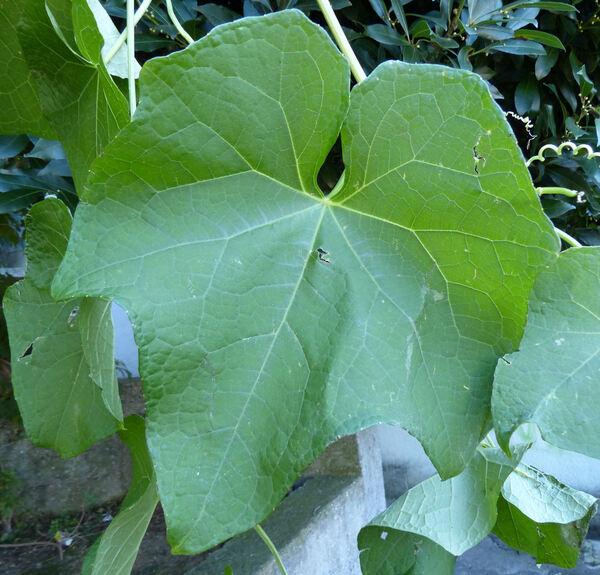Sechium edule (Jacq.) Sw.