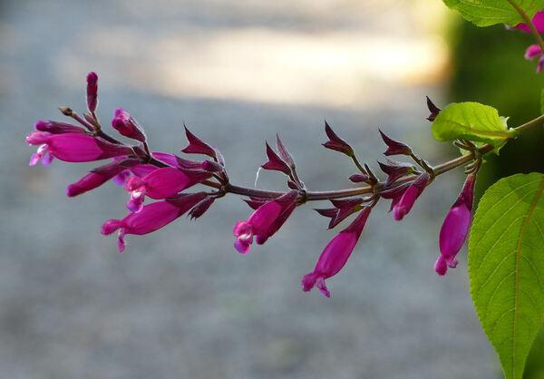 Salvia involucrata Cav. 'Boutin'
