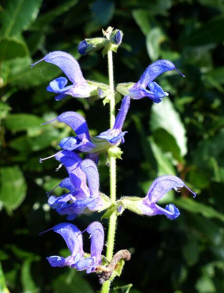 Salvia transsylvanica Schur