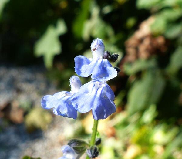 Salvia misella Kunth