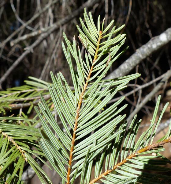 Abies concolor (Gord. & Glend.) Lindl. ex Hildebr.