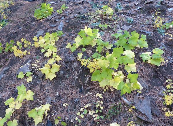 Rubus parviflorus Nutt.