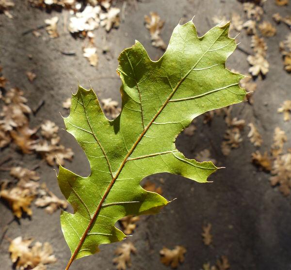 Quercus kelloggii Newb.