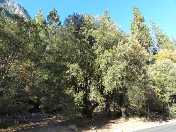 Quercus wislizenii A. DC.