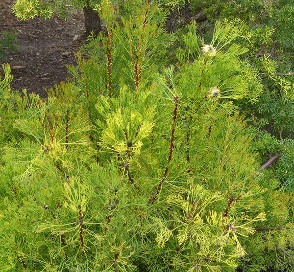 Isopogon anemonifolius Salisb. 'Curra Moors'