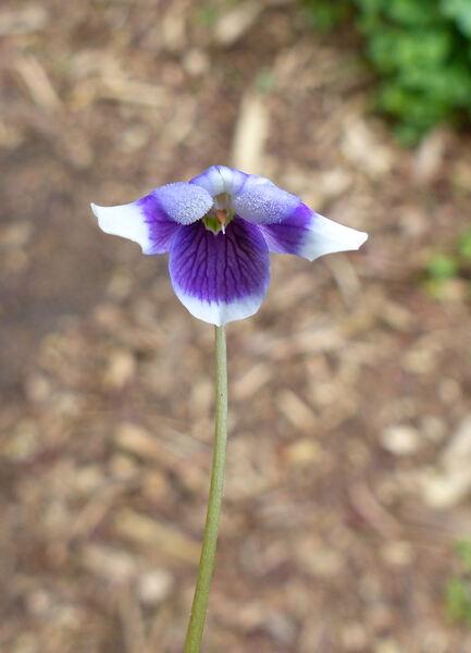 Viola hederacea Labill.