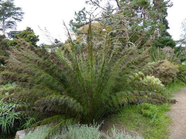 Rhodocoma gigantea (Kunth) H.P.Linder