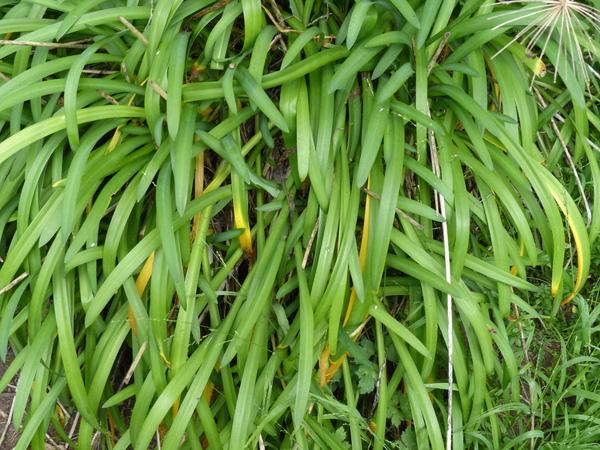 Agapanthus praecox Willd. subsp. minimus (Lindl.) F.M.Leight.