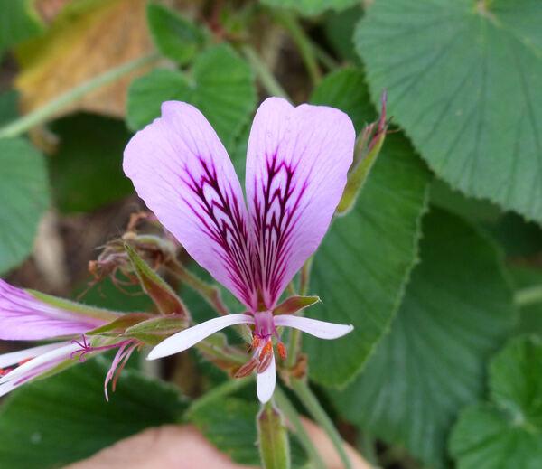 Pelargonium cordifolium (Cav.) Curt. 'Rubrocinctum'