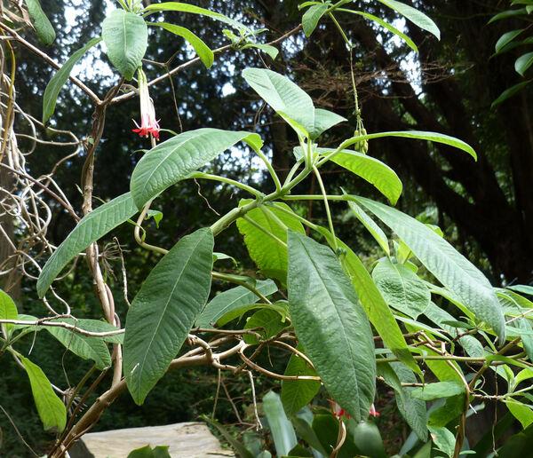 Fuchsia boliviana Carrière