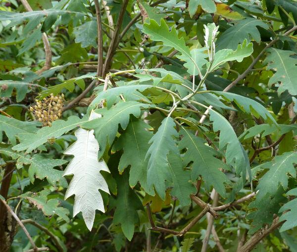 Bocconia arborea S.Watson