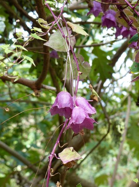 Rhodochiton atrosanguineus (Zucc.) Rothm.