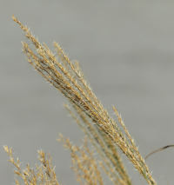 Miscanthus transmorrisonensis Hayata