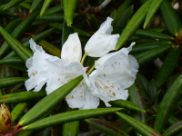 Rhododendron hyperythrum Hayata
