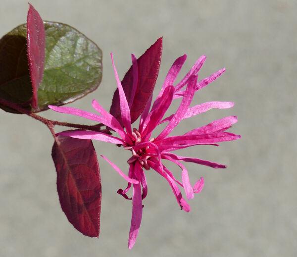 Loropetalum chinense (R. Br.) Oliv. var. rubrum Yieh 'Burgundy'