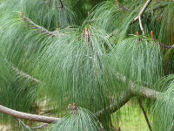 Pinus pseudostrobus Lindley var. apulcensis (Lindley) Martínez