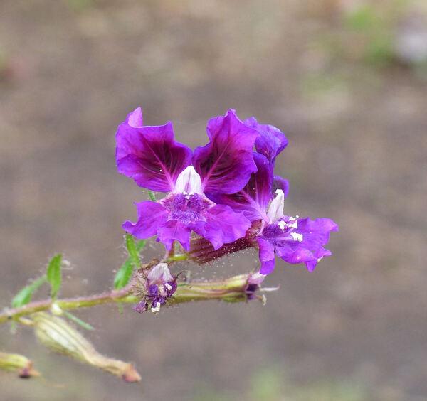 Cuphea lanceolata W.T.Aiton